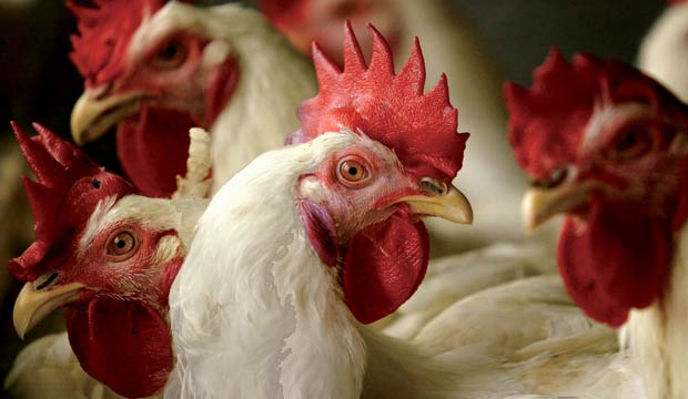 Chickens carry the avian flu