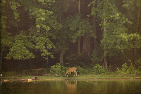 A deer grazing at the edge of the forest by a river